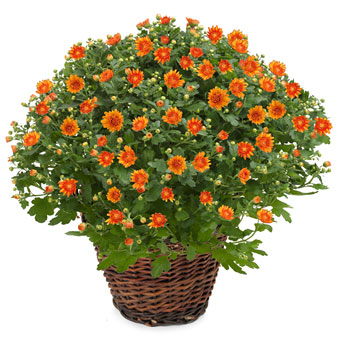 Orange krysantemum