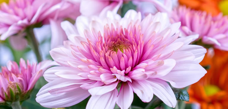 Charming Chrysanthemums