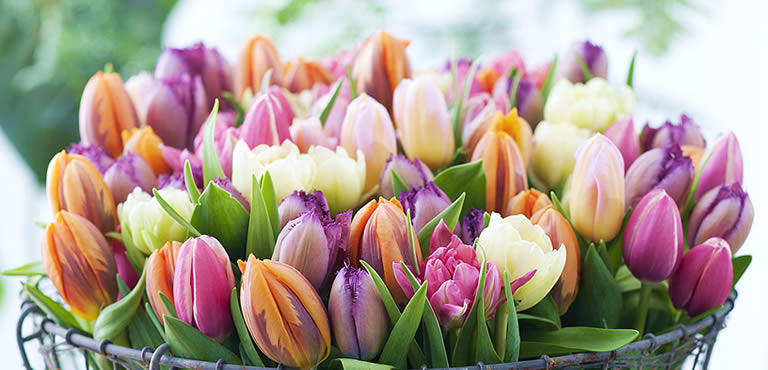 Tulipaner - En rigtig blomsterklassiker