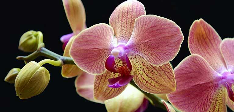 Smukke orkidéer