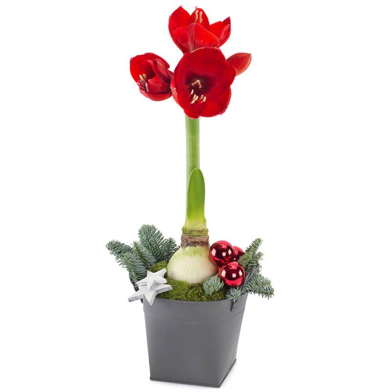Rød amaryllis