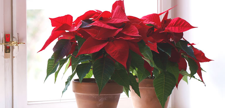 Wonderful Christmas Plants
