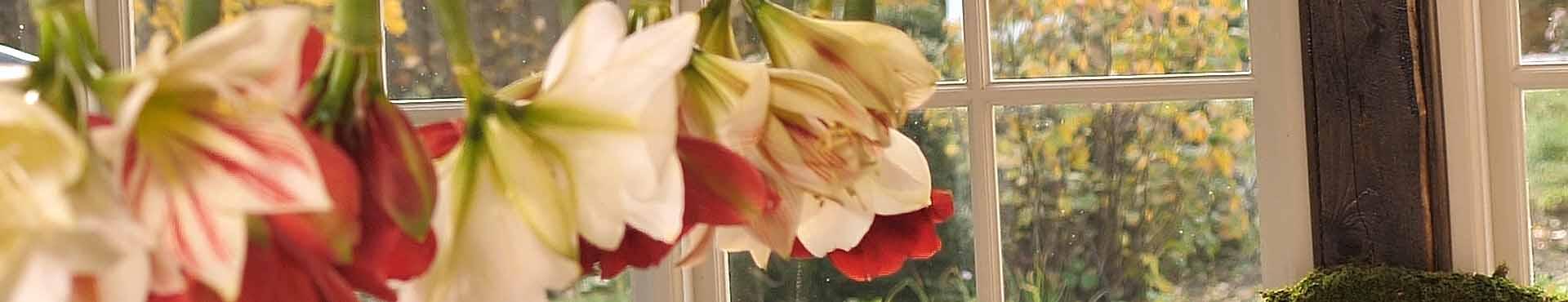 Rød og hvid amaryllis